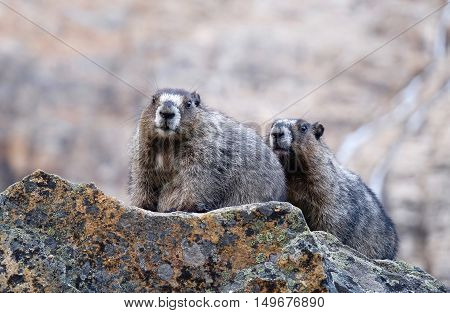 Marmots looking at camera. Jasper National Park. Candian Rocky Mountains. Alberta. Canada.