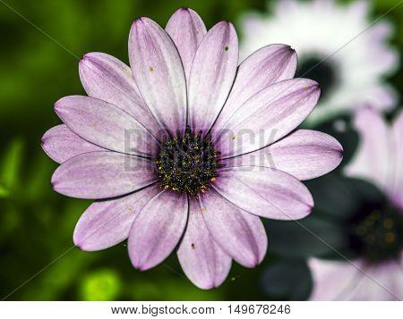 big purple flower outdoor macro closeup from above