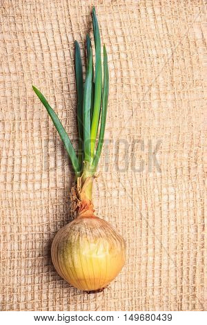Healthy edible plant. Onion bulb with chives fresh green sprout vegetable food on burlap sack cloth