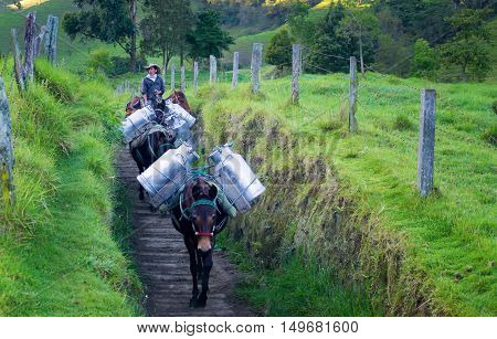 VALLE DEL COCORA COLOMBIA - JUNE 5: Donkeys carry milk to town in the Valle del Cocora in Colombia on June 5 2016