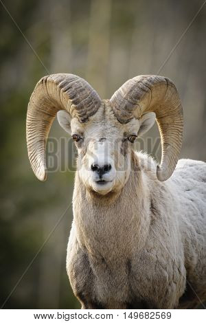 Rocky Mountain Bighorn Sheep (ovis Canadensis)