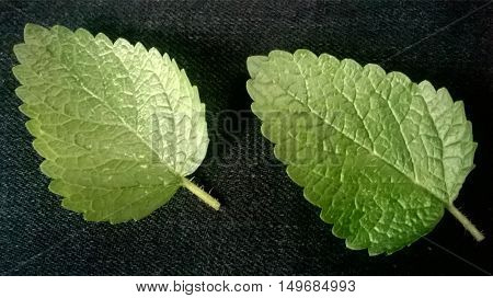 Two mint leaf on a black fabric background in macro