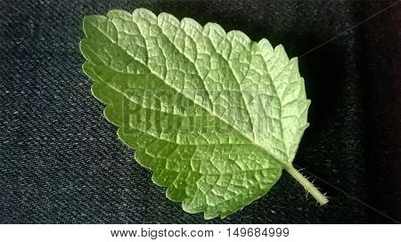 Leaf mint on black fabric background in macro
