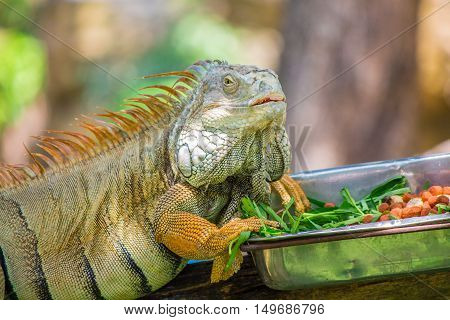 Chameleon And Food.
