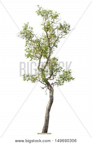 Isolated Tree On White Background, Tree Object Element For Design.