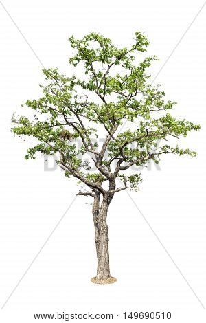 Tree, Isolated Tree On White Background, Tree Object Element For Design.