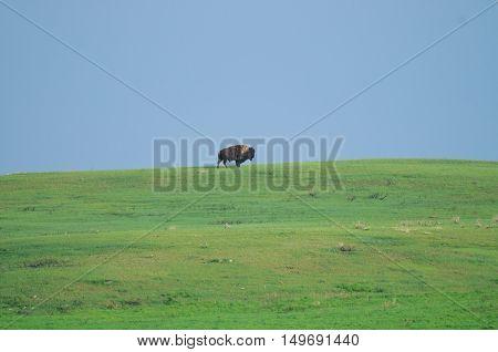 Wild Plains Bison (bison Bison Bison)