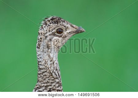 Sharp-tailed Grouse (tympanuchus Phasianellus)