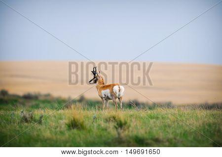 Wild Pronghorn Grasslands National Park Saskatchewan Canada