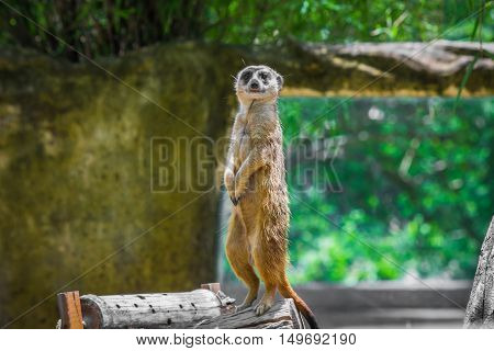 Meerkat Standing On A Timber.