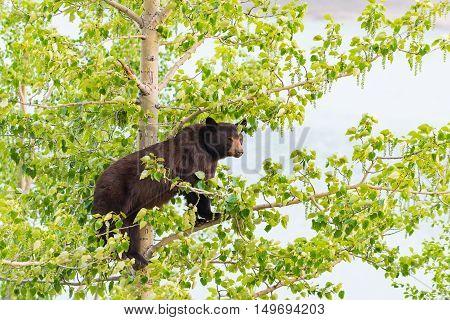 Black Bear Family In A Tree