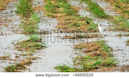 Open-billed stork feeding after harvest.nThe fields after harvest