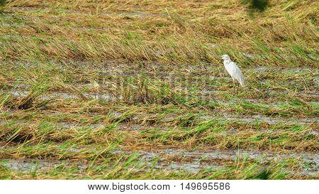Open-billed stork feeding after harvest. The fields after harvest