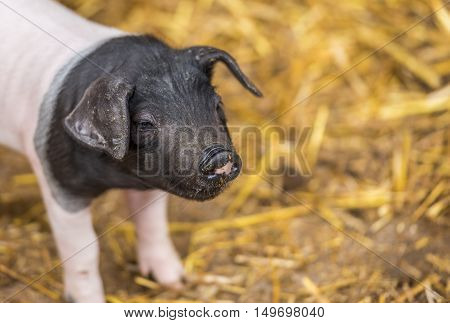 Cute piglet from german breed - Close-up with an adorable baby pig two weeks old from the Swabian-Hall swine breed with a funny snout.