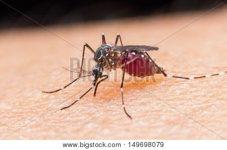 Close-up of a mosquito sucking blood. Zika and dengue outbreak