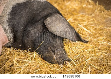 German pig sleeping on hay - Close-up image with the head of a Swabian-Hall swine a german breed of pigs resting on a bed of hay.