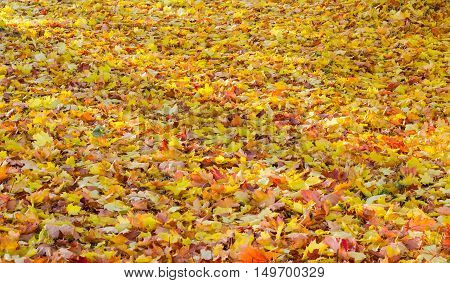 Lawn is completely covered with fallen yellow orange red brown leaves in autumn day