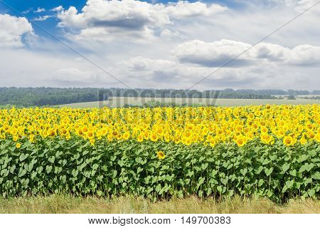 Field of blooming sunflowers against the forest plantations other fields and sky with clouds