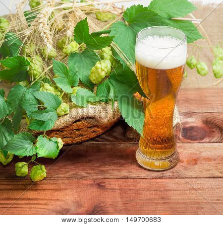 One glass with lager beer closeup on the background of branches of hops with leaves and cones and spikes of barley and wheat on a dark wooden surface