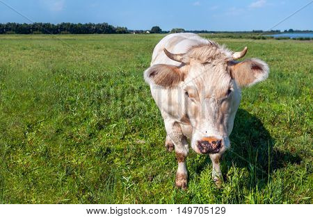 Beige cow with horns and a fly on its nose in the meadow comes close to the photographer. It is a sunny day at the end of the summer season.
