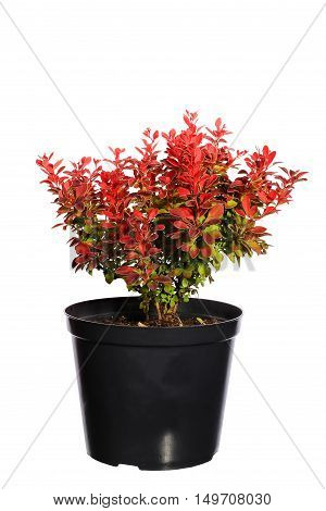 Seedling barberry in a black plastic pot isolated on white background