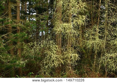 a picture of an exterior Pacific Northwest forest of conifers an maple trees