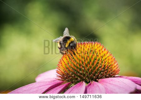 Close-up of a bumble bee on a coneflower on a summer day