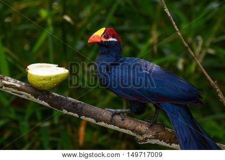 Violet turaco, also called violaceous plantain eater, or scientific name Musophaga violacea