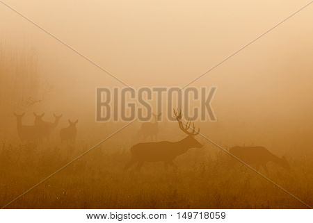 Red deer chasing hind in thick fog in mating season