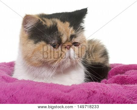 tricolor exotic shorthair cat in front of white background