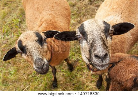 Portrait of Cameroon sheep. Sheep on pasture, looking into the lens.
