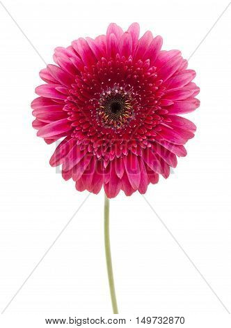Bright Pink Gerbera Isolated On White