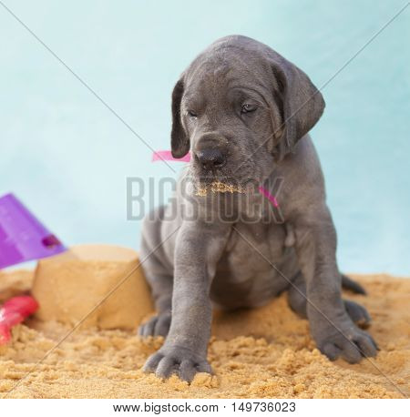 Sand on the mouth of a Great Dane purebred puppy