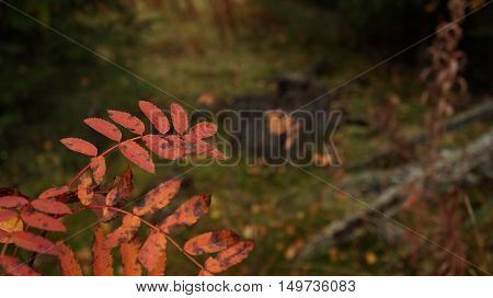 Autumn wilting. Red plants on yellow meadow