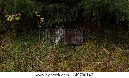 Dog resting under spruce in a clearing in the autumn forest