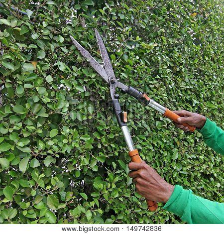 Gardener Trimming The Trees