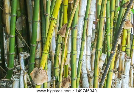 Group of green bamboo in the garden