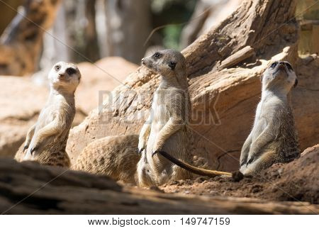 Three meerkats standing in a typical pose