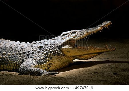 A crocodile with opened snout side view