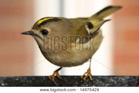goldcrest closeup