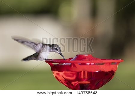 Image of Hummingbird Enjoying The Sweet Nectar