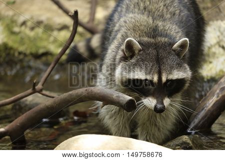 Close up of Raccoon Wading in Water