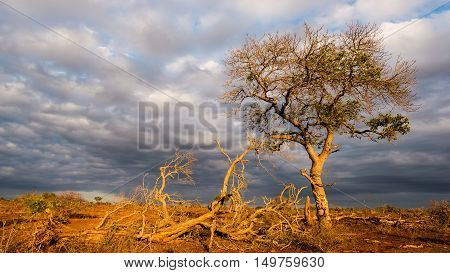 Golden Sunrise In The African Bush. Glowing Acacia Tree Hit By Sunlight Against Dramatic Sky. Landsc