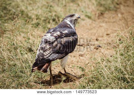 A bird of prey eats a snake on the savana