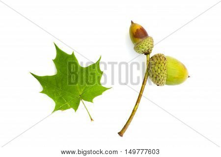 Isolated autumn print with acorn and green maple leaf