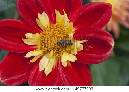 Bee on red flower pollinating, nature background