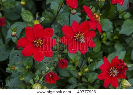 Bees on red flowers pollinating, nature background