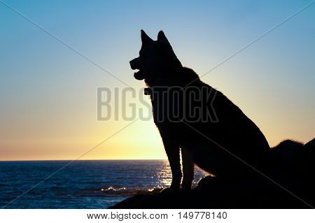 husky dog silhouette sit at sunset on coast of Gulf of St Lawrence in Gaspe PeninsulaQuebecCanada