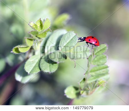 ladybug posing on the grass outdoor macro closeup