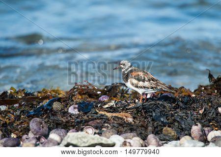 Ruddy Turnstone closeup among algae and shells on the seashore of Gulf of St Lawrence Mingan Archipelago QuebecCanada